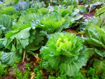 7 Health Benefits Of Collard Greens - Plattershare - Recipes, Food Stories And Food Enthusiasts