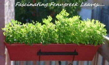 Fascinating Tips To Use Fenugreek Leaves (Venthaya Keerai) - Plattershare - Recipes, Food Stories And Food Enthusiasts